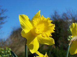 Welsh Daffodil trumpet narcissus