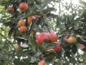 apples lord lambourne