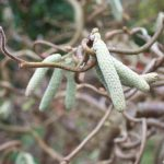 corkscrew hazel - corylus avellana contorta - native species hedge - croydon, garden design, grow your own