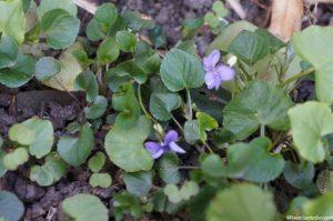 dog violets, viola canina, Viola riviniana