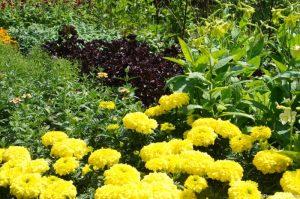 yellow marigolds, flower border, Nymans