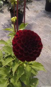 Plews garden design - plant nursery - dahlia pompom purple