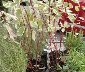 Plews garden design -cornus, rosemary