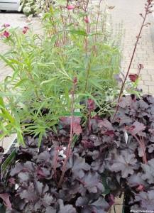 Plews garden design heuchera, penstemon