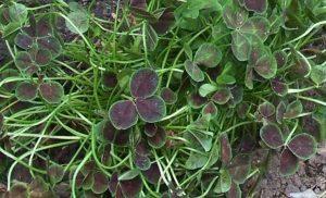 Trifolium purpurea quadrifolium, clover, four leaved clover, client, planting design