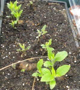 dahlia tuber shoots, propagation