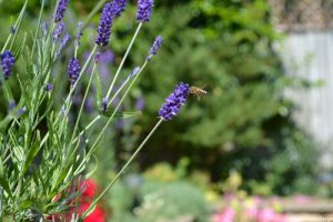 Lavender with bee, planting design