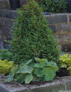 box topiary cone, alchemilla mollis, heuchera, front garden, planting design, raised beds