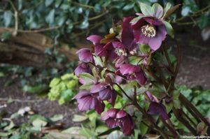 dark purple hellebore, Eltham palace