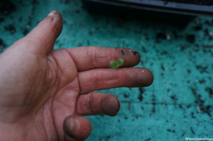 how to handle seedlings when pricking out, gardening lessons, grow your own