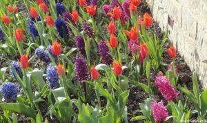 mixed hyacinth and tulip spring border display
