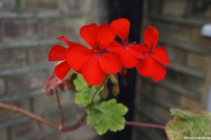 red pelargonium in hanging basket