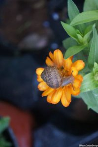 snail on orange calendula flower, marigold