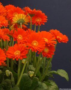 Gerbera garvinea sweet glow Chelsea flower show 2014