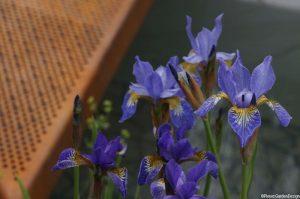 blue iris by rusted bridge Chelsea flower show