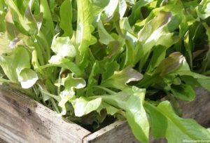 cut and come again lettuce in wooden seed tray, edible gardens, edible garden, salads