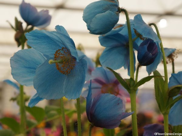Himalayan Blue Poppy And The Scottish Highlands
