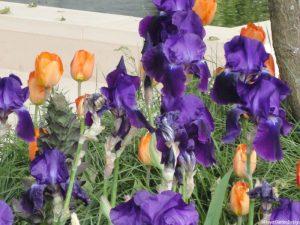 purple iris and orange tulip - RHS Chelsea Flower Show 2010