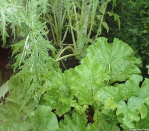 rhubarb and globe artichoke, perennial vegetable, perennial fruit, edible gardens, edible garden, edible gardening