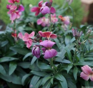 wallflowers, scented flower, bedding plants, container planting