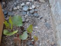 Japanese knotweed early growth, fallopia japonica, weeds, invasive species, garden sos
