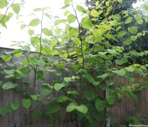 Japanese knotweed, taller than fence, fallopia japonica, weeds, invasive species, garden sos