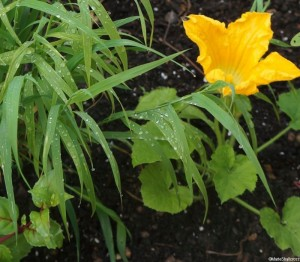 courgette 'yellow tennis ball' , Melica altissima atropurpureum, edible gardens, grow your own, ornamental vegetables, Marie Shallcross