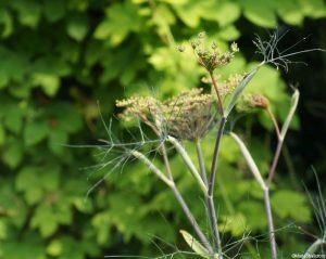 fennel - foeniculum vulgare , golden hop - humulus aurea, edible gardens, grow your own, herbs, Marie Shallcross