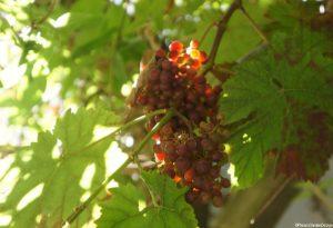 grapes, vine, grow your own, edible gardens, perennial fruit, grow your own