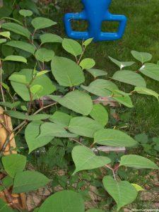 japanese knotweed in family garden, fallopia japonica, weeds, invasive species, garden sos