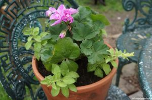 pelargonium and petunia in a long tom pot