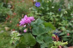 pink pelargonium, white petunia in container