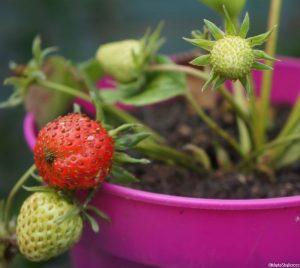 strawberries, pink pot, strawberry, fruit, edible garden, edible gardening, edible gardens, grow your own, Marie Shallcross