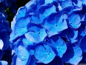 Hydrangea macrophylla 'brestenburg', blue hydrangea