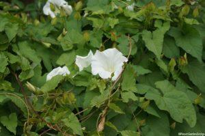 bindweed flower, calystegia sepia