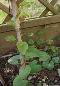 bindweed, , calystegia sepia, garden cane, weeds