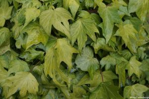 hedera helix 'jesters gold', evergreen climber, useful shade plant, weed