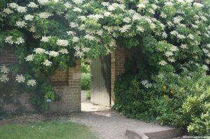 hydrangea petiolaris, Nymans garden