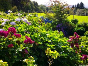 hydrangeas at holehird gardens