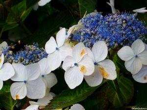 lace cap hydrangea, holehird gardens