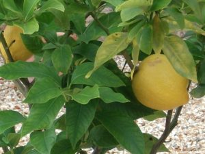 lemon tree, exotic garden, hampton court palace garden, historic gardens