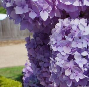 lilac purple hydrangeas