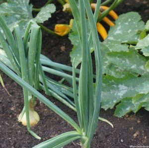 onions and courgettes grown in rows, grow your own vegetables in rows, edible gardens, cultivation, companion planting