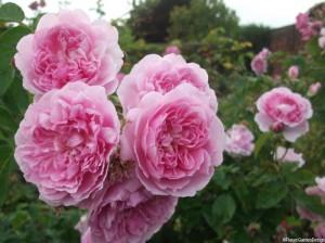 pink roses, hampton court palace garden, historic gardens
