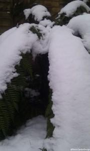 dicksonia antarctica, snow covered