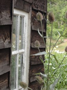 teasel by garden shed, Dipsacus sylvestris, Dipsacus fullonum, british native species, architectural plant, Red House
