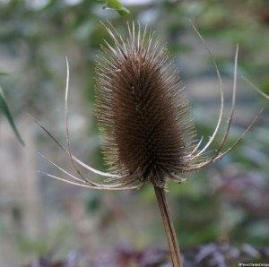 teasel seed head, Dipsacus sylvestris, Dipsacus fullonum, british native species, architectural plant