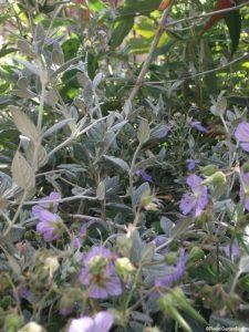 teuchrium fruticans, geranium 'mrs kendal clarke', flowering shrub, herbaceous perennial