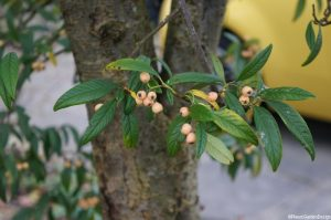 Cotoneaster 'Rothschildianus' and yellow car