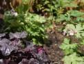 Heuchera 'obsidian', Geranium macrorrhizum 'spessart', planting design, ground cover plants, front garden, bromley, plews garden design